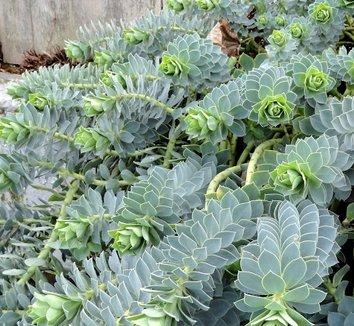 Euphorbia myrsinites 12