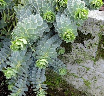 Euphorbia myrsinites 13