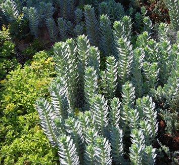 Euphorbia myrsinites 17 form