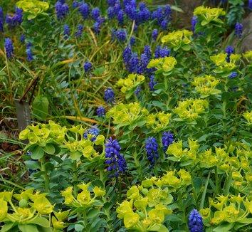 Euphorbia myrsinites 19 flower