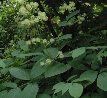 Aralia californica 7 flower