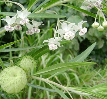 Asclepias physocarpa 1 flower