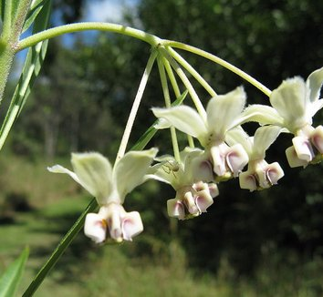 Asclepias physocarpa 3 flower
