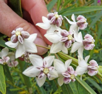 Asclepias physocarpa 4 flower