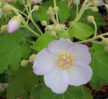 Abutilon vitifolium 1 flower