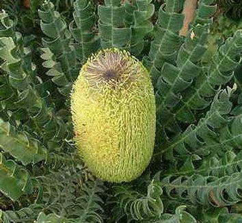 Banksia grandis 1 flower, form