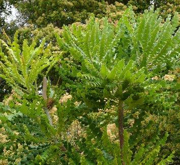 Banksia grandis 5