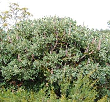 Banksia grandis 8 form