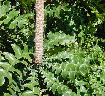 Banksia grandis 11 flower