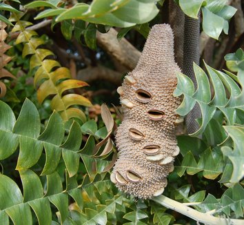 Banksia grandis 13