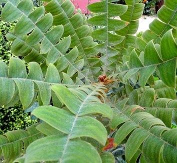 Banksia grandis 14