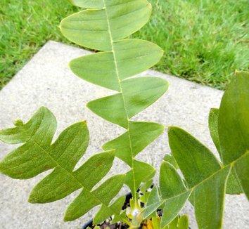 Banksia grandis 16