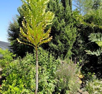 Banksia grandis 17