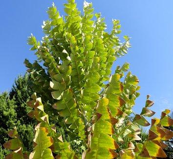 Banksia grandis 18