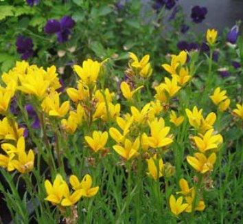 Monopsis lutea 1 flower