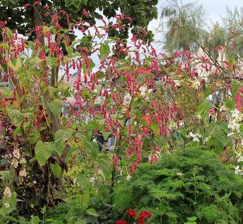 Polygonum Orientale Persicaria Orientalis Kiss Me Over The Garden Gate Kiss Me Over The