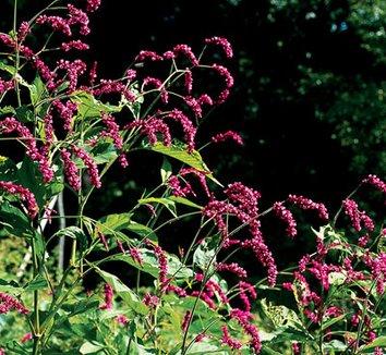Polygonum orientale 8 flower