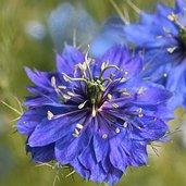 Nigella damascena 'Miss Jekyll Dark Blue'