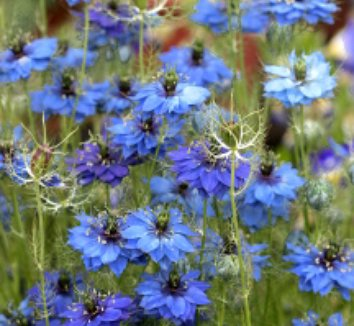 Nigella damascena 'Miss Jekyll Dark Blue' 3 flower