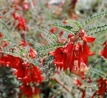 Lessertia montana 6 flower