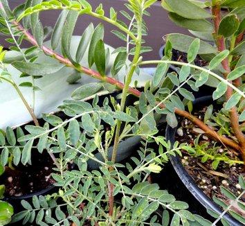 Lessertia montana 7
