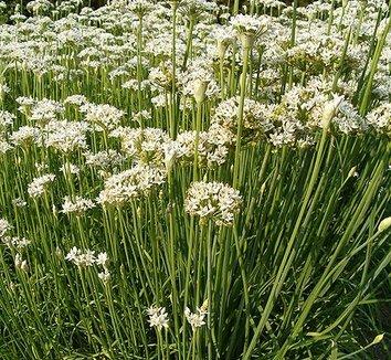 Allium tuberosum 2 flower