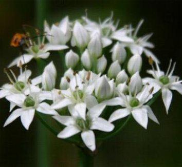 Allium tuberosum 1 flower