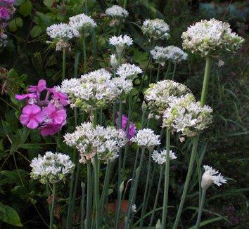 Allium tuberosum 3