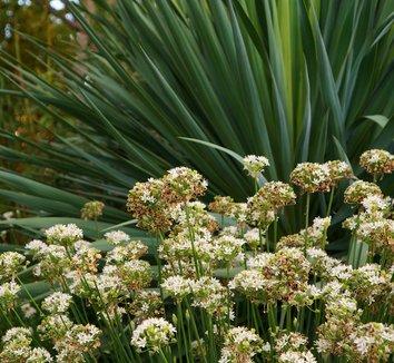 Allium tuberosum 6 flower