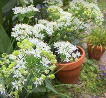 Allium tuberosum 9 flower