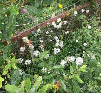 Allium tuberosum 11 flower