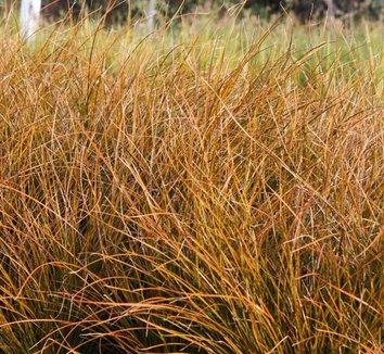 Carex testacea 11