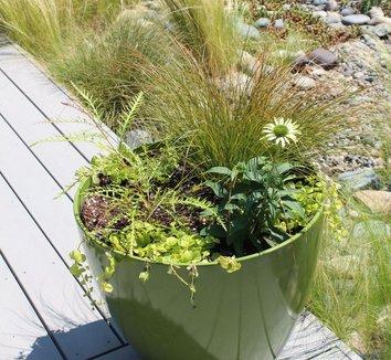 Carex testacea 12