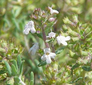 Thymus fragrantissimus 1 flower