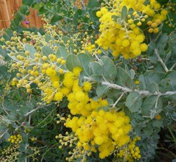 Acacia podalyriifolia 1 flower