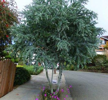 Acacia podalyriifolia 2 form