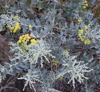 Acacia podalyriifolia 4 flower