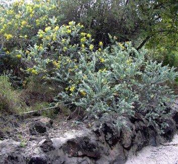 Acacia podalyriifolia 5 habit