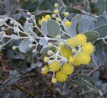 Acacia podalyriifolia 6 flower