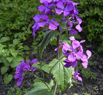 Lunaria annua 'Pennies in Bronze' 1 flower