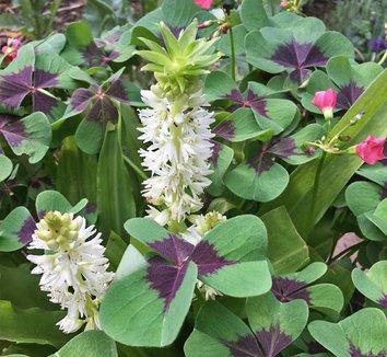 Eucomis autumnalis 9 flower