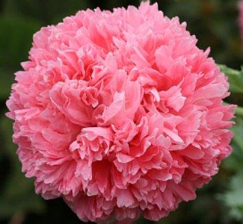 Papaver somniferum 'Pink Paeony' 1 flower