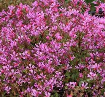 Clarkia concinna 1 flower