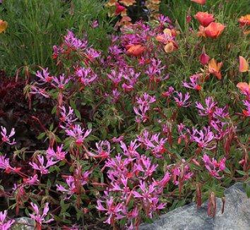 Clarkia concinna 4 flower