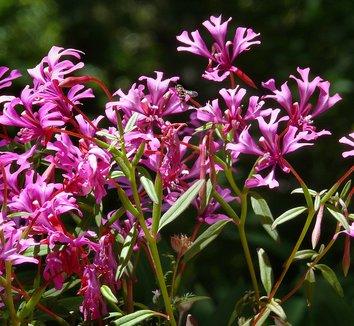 Clarkia concinna 5 flower
