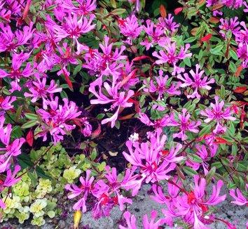 Clarkia concinna 7 flower