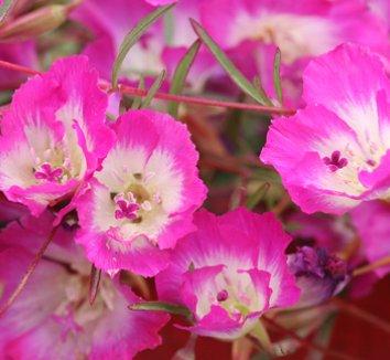 Clarkia speciosa ssp. immaculata 1 flower