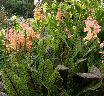 Rumex sanguineus ssp. sanguineus 6