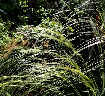Stipa barbata 3 form