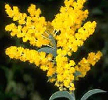 Acacia triptera 1 flower, form